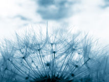Blue dandelion clock Stock Photo