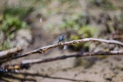 Blue Darner Stock Photography