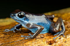 Blue dart frog Stock Photography