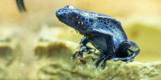 Blue dart frog stock image