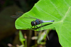 Blue Dasher. A Blue Dragonfly in the Wild Woods stock image