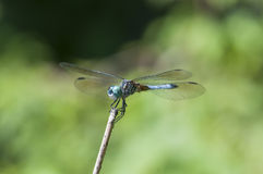 Blue dasher Stock Photography
