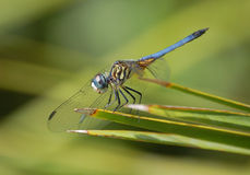 Blue Dasher Dragonfly Royalty Free Stock Images