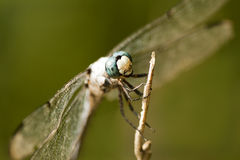 Blue Dasher Dragonfly 2 - Pachydiplax longipennis Stock Images