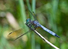 Blue Dasher Dragonfly Royalty Free Stock Image
