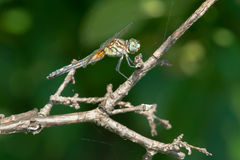 Blue Dasher Dragonfly Stock Photos