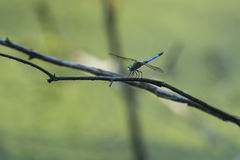 Blue Dasher Dragonfly on Branch Stock Images