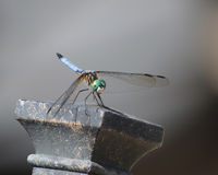 Blue dasher dragonfly on chair. Blue dasher dragonfly resting on the corner of a metal chair against plain background shows off green eyes and yellow thorax of Royalty Free Stock Photos