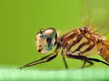 Blue Dasher Dragonfly Close-up Royalty Free Stock Images