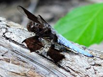 Blue Dasher Dragonfly Closeup. Closeup photograph of a large Blue Dasher dragonfly resting atop a fallen tree Royalty Free Stock Photography