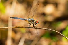 Blue Dasher Dragonfly Royalty Free Stock Photos