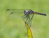 Blue Dasher Dragonfly on Green Leaf Royalty Free Stock Photos