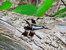 Blue Dasher Dragonfly on a Log. Photograph of a Blue Dasher dragonfly with outspread wings resting on a fallen tree Royalty Free Stock Images
