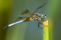 Blue Dasher Dragonfly Royalty Free Stock Photography