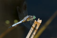 Blue Dasher Dragonfly Stock Photo