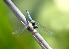 Blue Dasher Dragonfly. Male Blue Dasher Dragonfly on a twig taken in a marsh in eastern U.S Stock Images