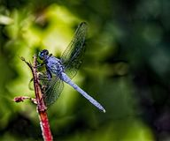 Blue dasher dragonfly. Pachydiplak longipennis. royalty free stock photos