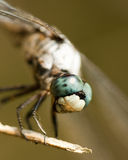 Blue Dasher Dragonfly - Pachydiplax longipennis. This is a blue dasher dragonfly, Pachydiplax longipennis. It hangs around ponds, and loves to find a tall royalty free stock image