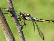 Blue dasher dragonfly - Pachydiplax longipennis Stock Photo