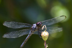 Blue Dasher Dragonfly - Pachydiplax longipennis Stock Image