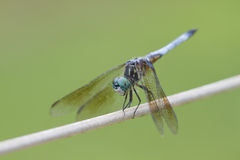 Blue Dasher Dragonfly - Pachydiplax longipennis Stock Photos