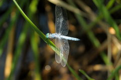 Blue Dasher Stock Images