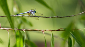 Blue Dasher Dragonfly. Parallel lines and out of focus, drooping leaves make for a surreal, meditative setting for this dragon fly catching beams of sunlight in Royalty Free Stock Photography
