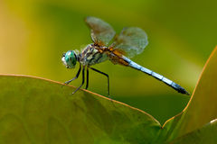 Blue Dasher Dragonfly Stock Image