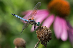 Blue Dasher Royalty Free Stock Images