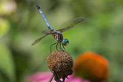 Blue Dasher Royalty Free Stock Image