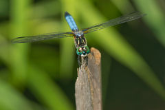 Blue Dasher Dragonfly Stock Photography