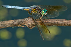 Blue Dasher Dragonfly Stock Images