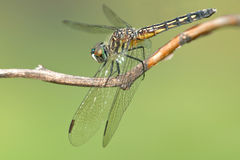Blue Dasher Dragonfly Royalty Free Stock Photo