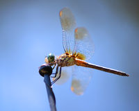 Blue dasher dragonfly in profile. Blue dasher dragonfly closeup in profile against blue sky Royalty Free Stock Images