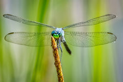 Blue Dasher Dragonfly on reed Royalty Free Stock Photo