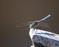 Blue dasher dragonfly springtime. Blue dasher dragonfly perched on stone square Stock Image