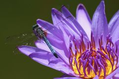 A Blue Dasher Dragonfly. On a blue Waterlily bloom with a yellow `on fire` center royalty free stock photography