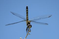 Blue Dasher. Female Blue Dasher dragonfly in obelisk position, taken at Sweetwater Wetlands Royalty Free Stock Photography