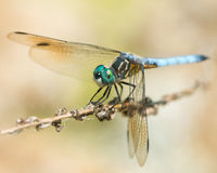Blue Dasher IV Stock Photos