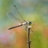 Blue Dasher IX Stock Image