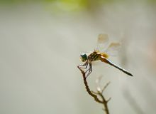 Blue dasher (Male) Stock Images