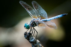 Blue Dasher Over Autumn Leaves Royalty Free Stock Image