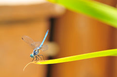 Close up of Male Blue Dasher Skimmer Dragonfly on a leaf Royalty Free Stock Photos