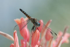 Blue Dasher. Perched on a flower royalty free stock photography