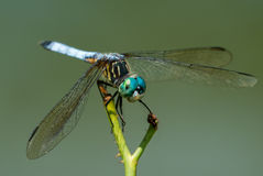 Blue Dasher Stock Photos