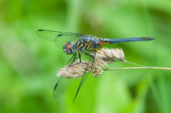 Blue Dasher. Perched on a plant royalty free stock photography
