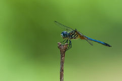 Blue Dasher. Perched on a stick stock photos