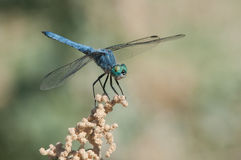 Blue Dasher. Perched on a wildflower royalty free stock image