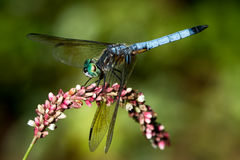 Blue Dasher on Pink Flower Royalty Free Stock Images