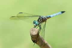 Blue Dasher V Stock Images